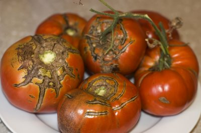 Ugly tomatoes courtesy of cc-calendula.blogspot.com